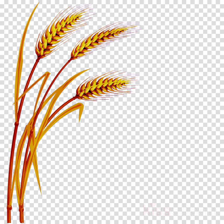 Cartoon yellow plant transparent. Wheat clipart feather