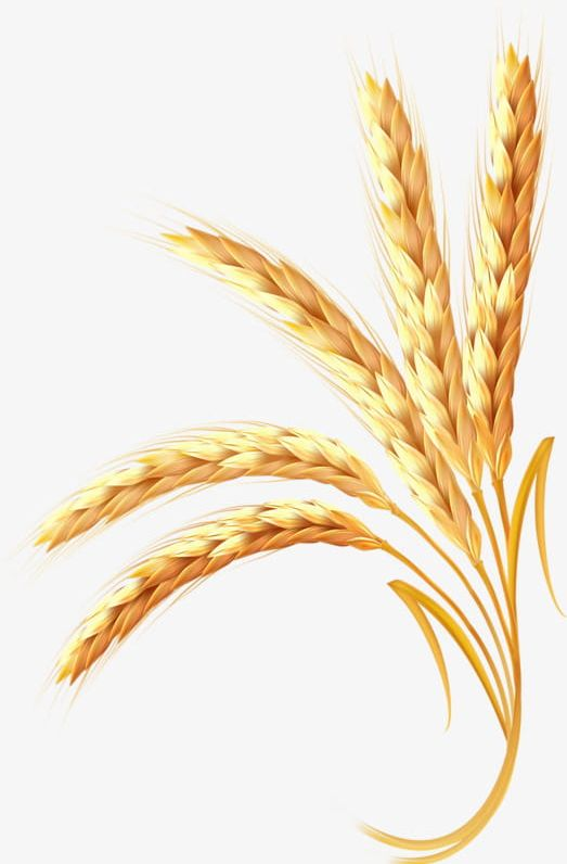 Wheat clipart gold wheat. Golden png