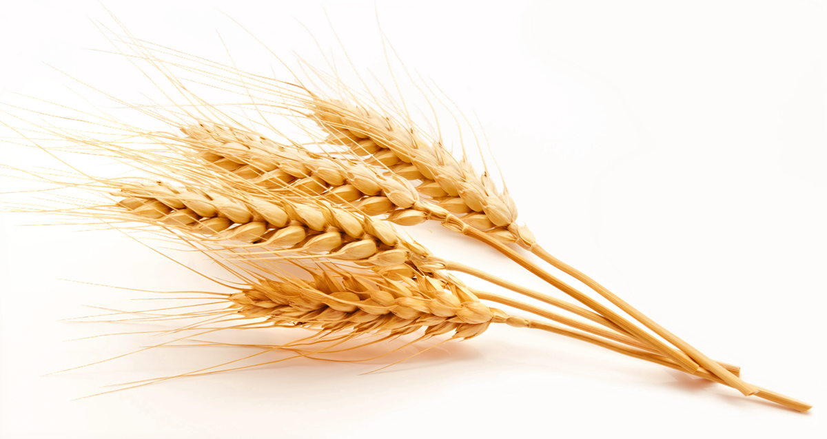 Wheat clipart high resolution. Download free png quality