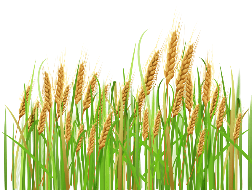 Png free images toppng. Wheat clipart icon
