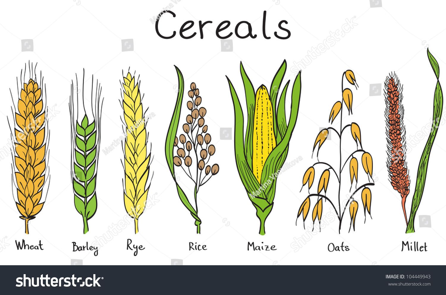Cereals hand drawn illustration. Wheat clipart millet plant