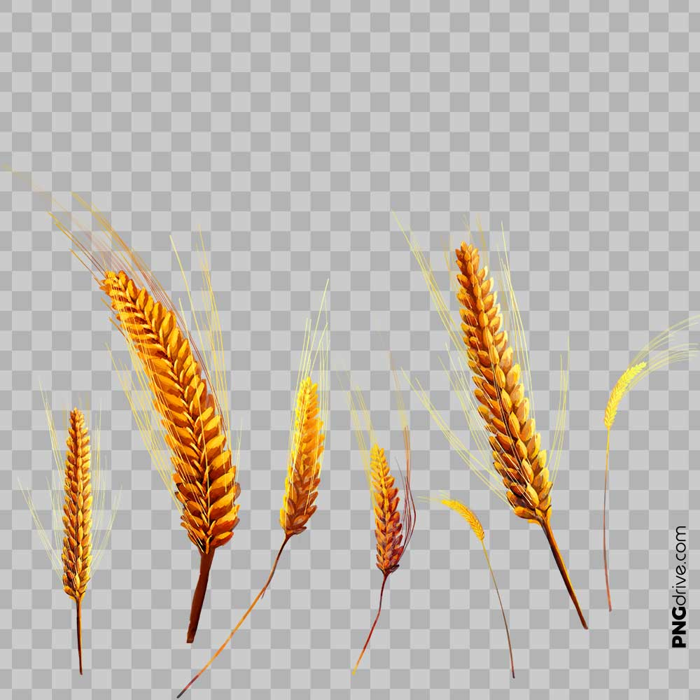 Wheat clipart millet plant. Vector golden from field