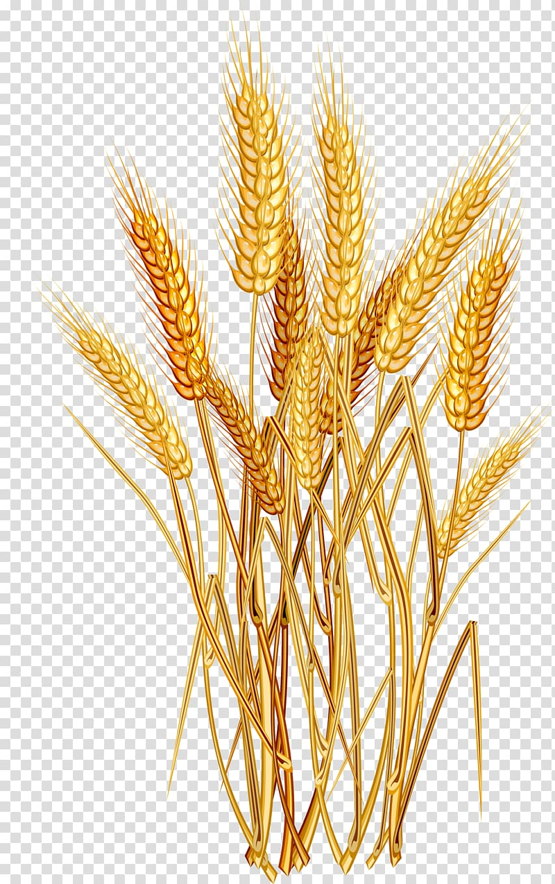 Wheat clipart oat. Common ear cereal oats