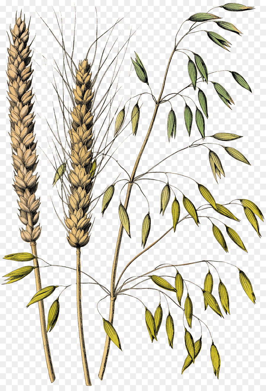Family tree background oatmeal. Wheat clipart oat