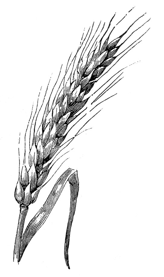Thursday is request day. Wheat clipart sprig