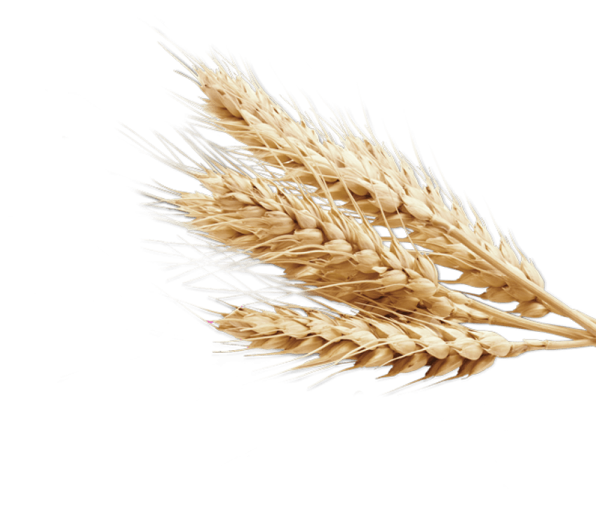 Png free images toppng. Wheat clipart transparent background