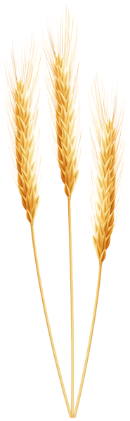 Wheat clipart transparent background. Png images free download