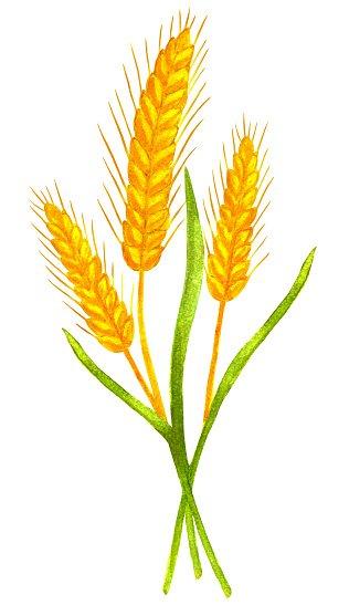 Wheat clipart watercolor. Ears premium clipartlogo com
