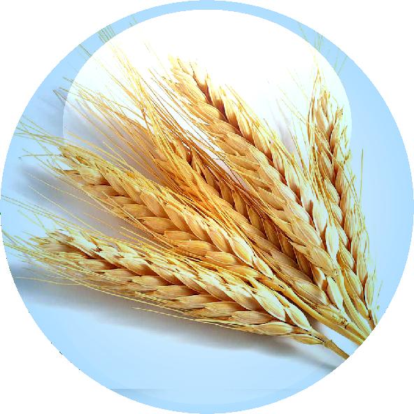 Wheat clipart wheat germ. Omega high impact regimaregima