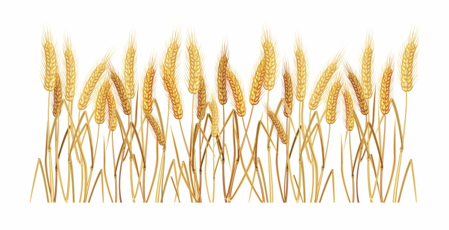 Png transparent background clip. Wheat clipart wheat grass