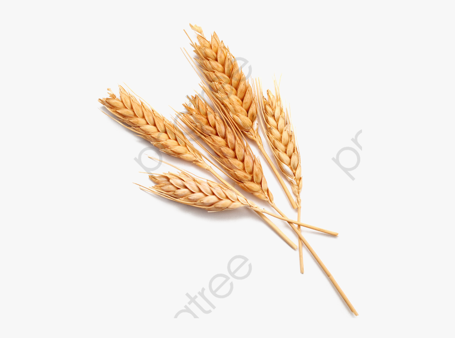 Picture transparent single grain. Wheat clipart wheat shock
