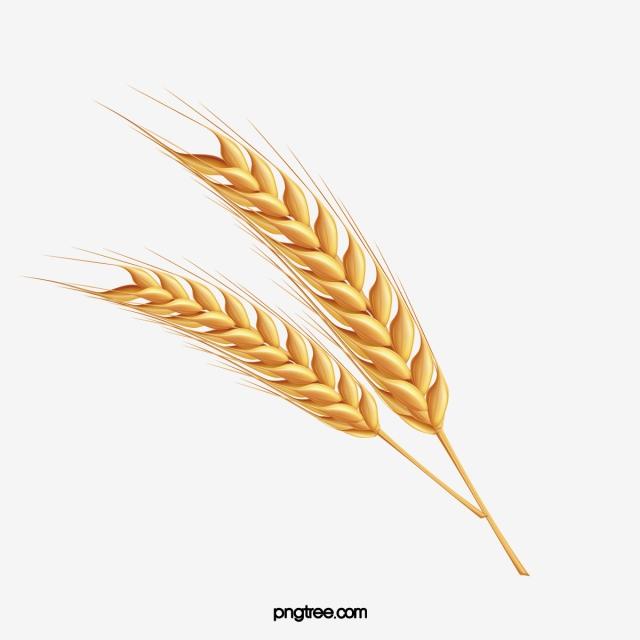 Cartoon hand drawn ears. Wheat clipart wheat spike