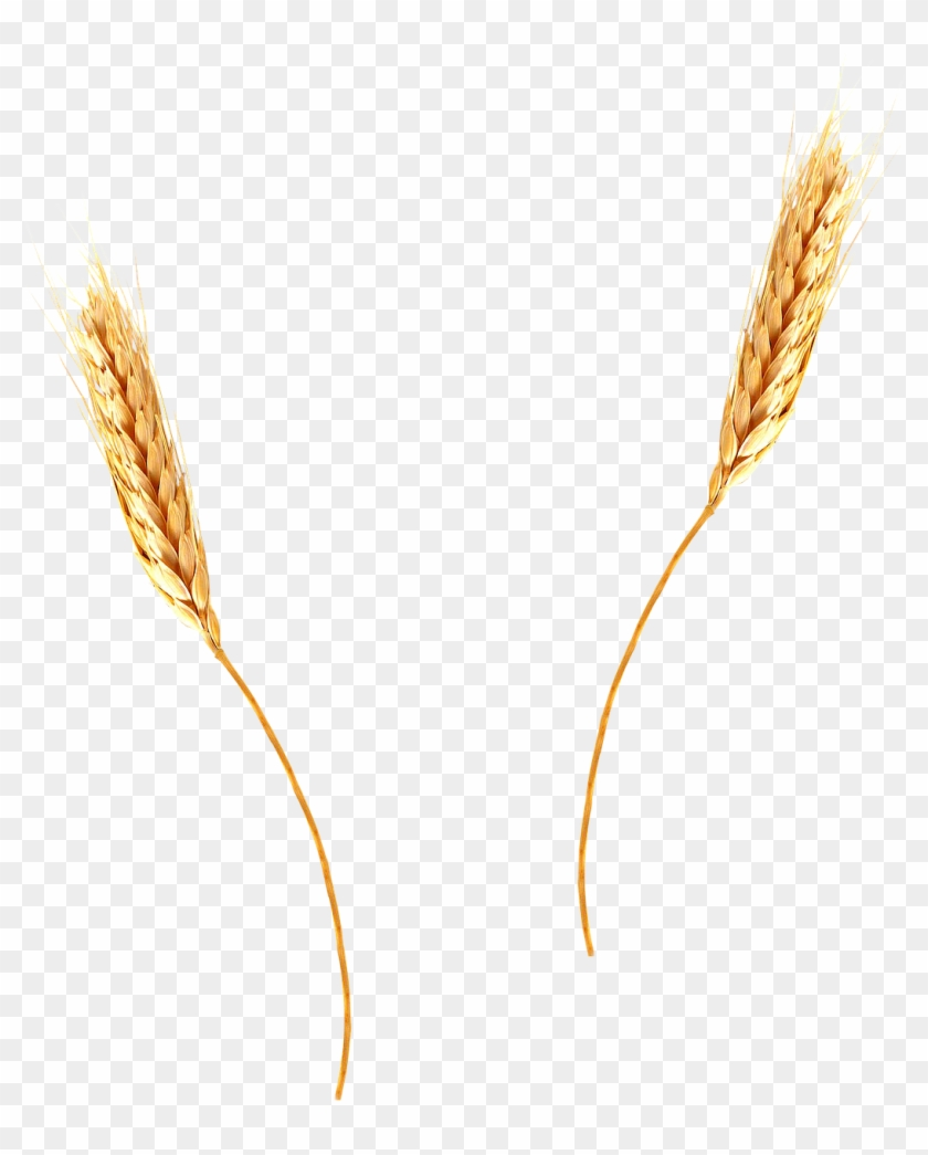 Agriculture barley spikes png. Wheat clipart wheat straw