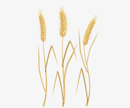 Wheat clipart wheat straw. Free barley download clip