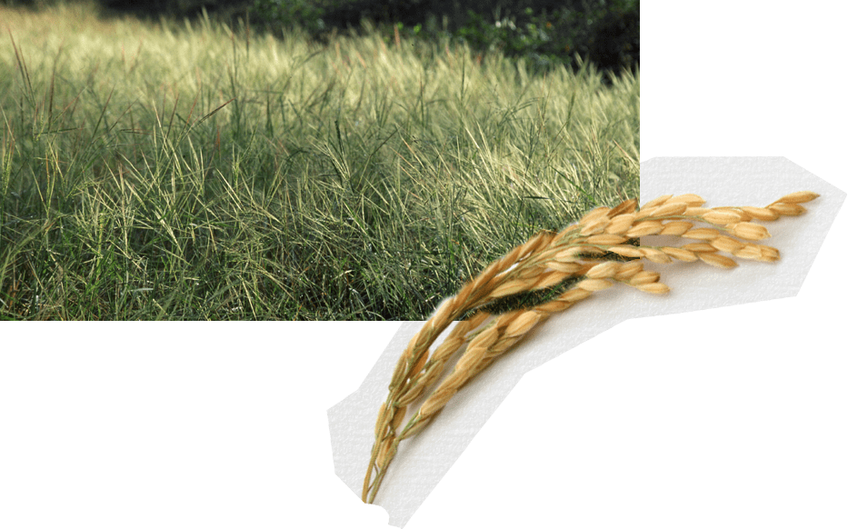 Wheat clipart wild rice. The spread of across