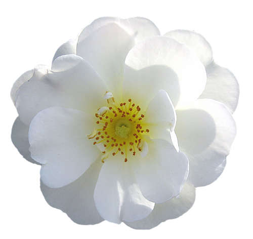 Rose transparent isolated roses. White flower png
