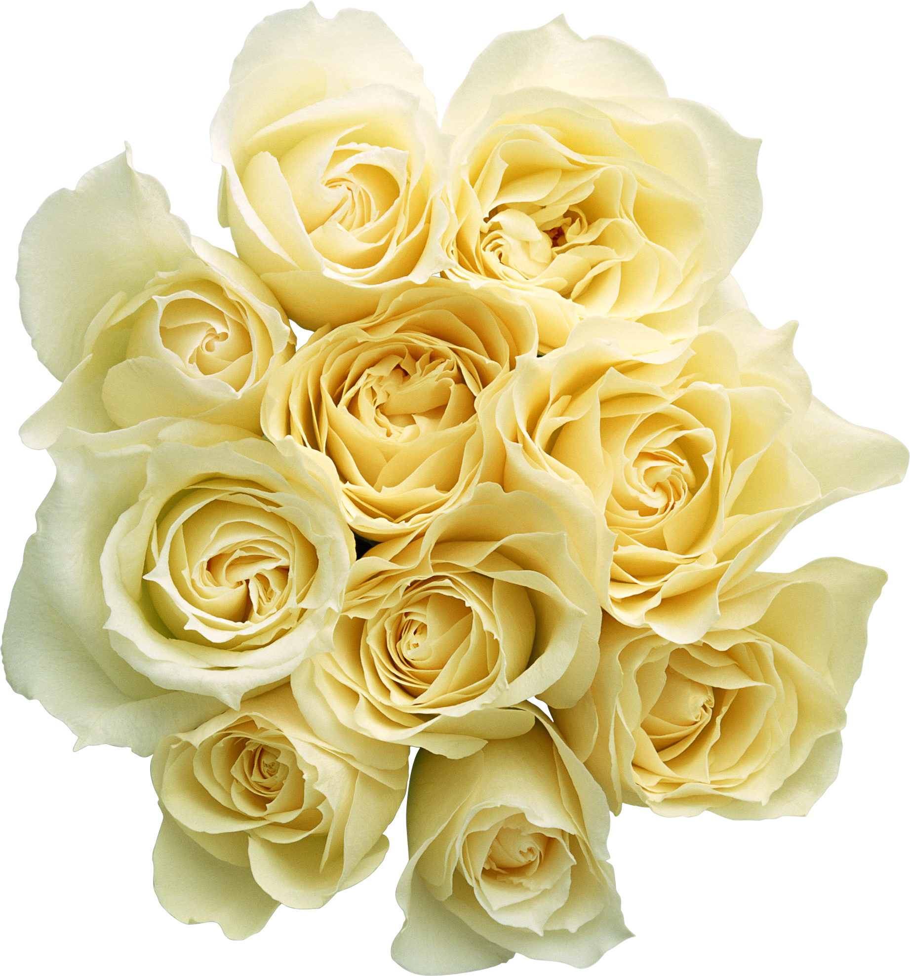 Roses images free download. White flower png