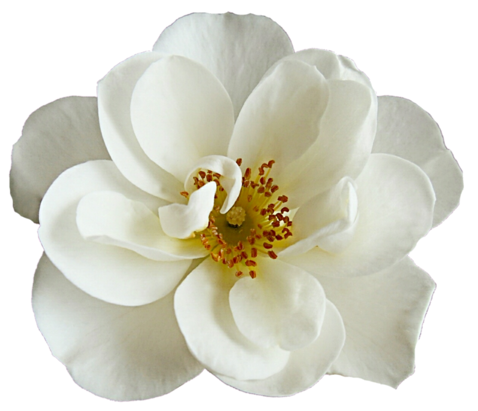 White flower png.  for free download