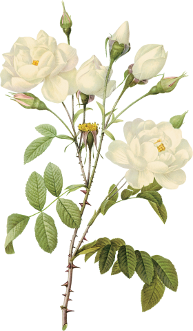 Image download site rose. White flower png