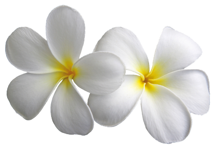 White flower png. Plumeria transparent flowers
