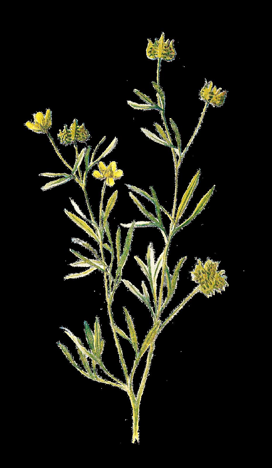Wild flower png. Familiar flowers wildflower printing