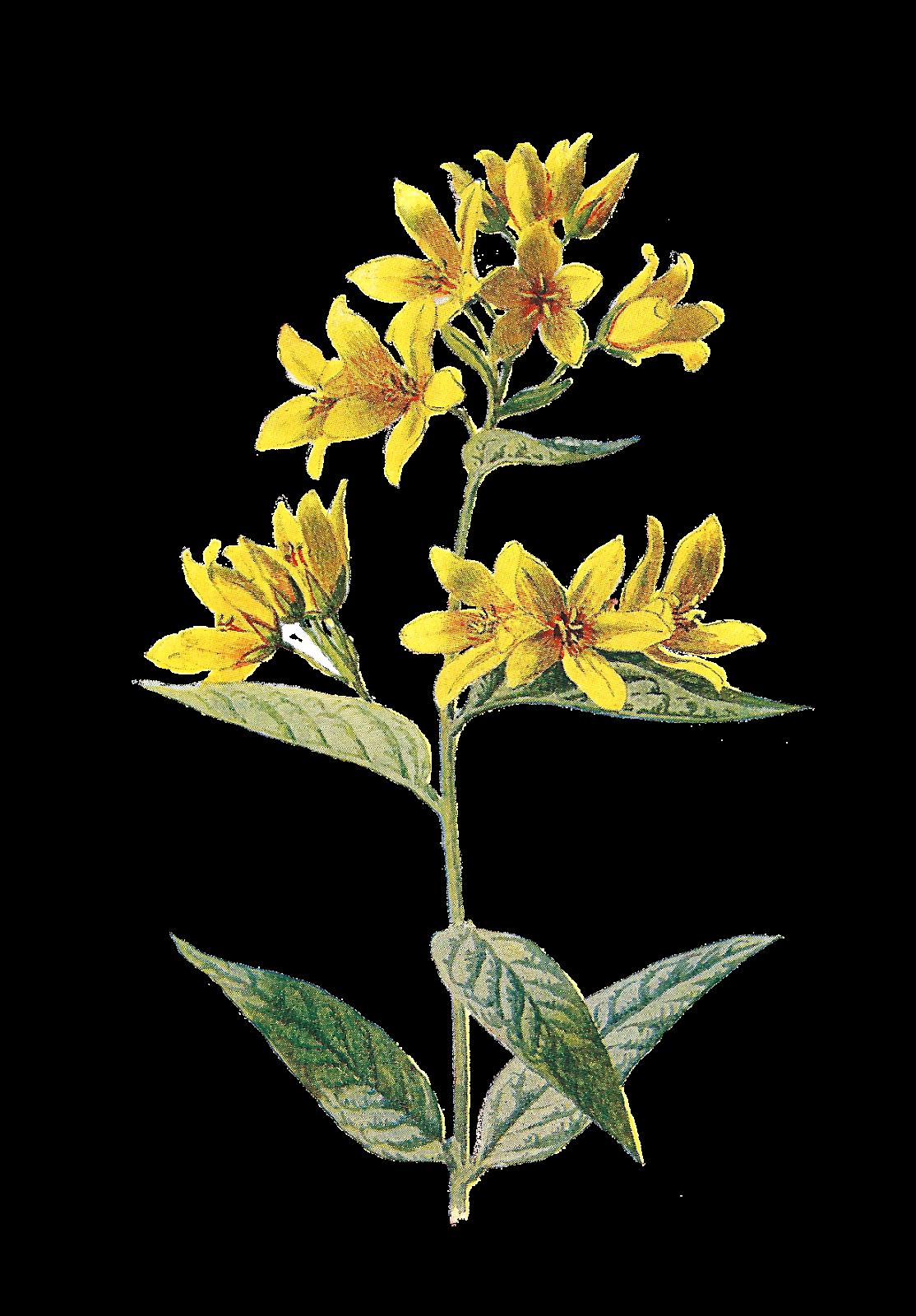 Antique images free digital. Wild flower png