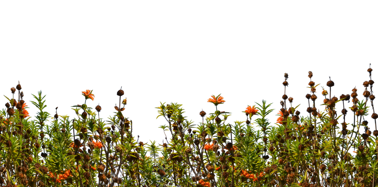 Ground cover stock photo. Wild flower png