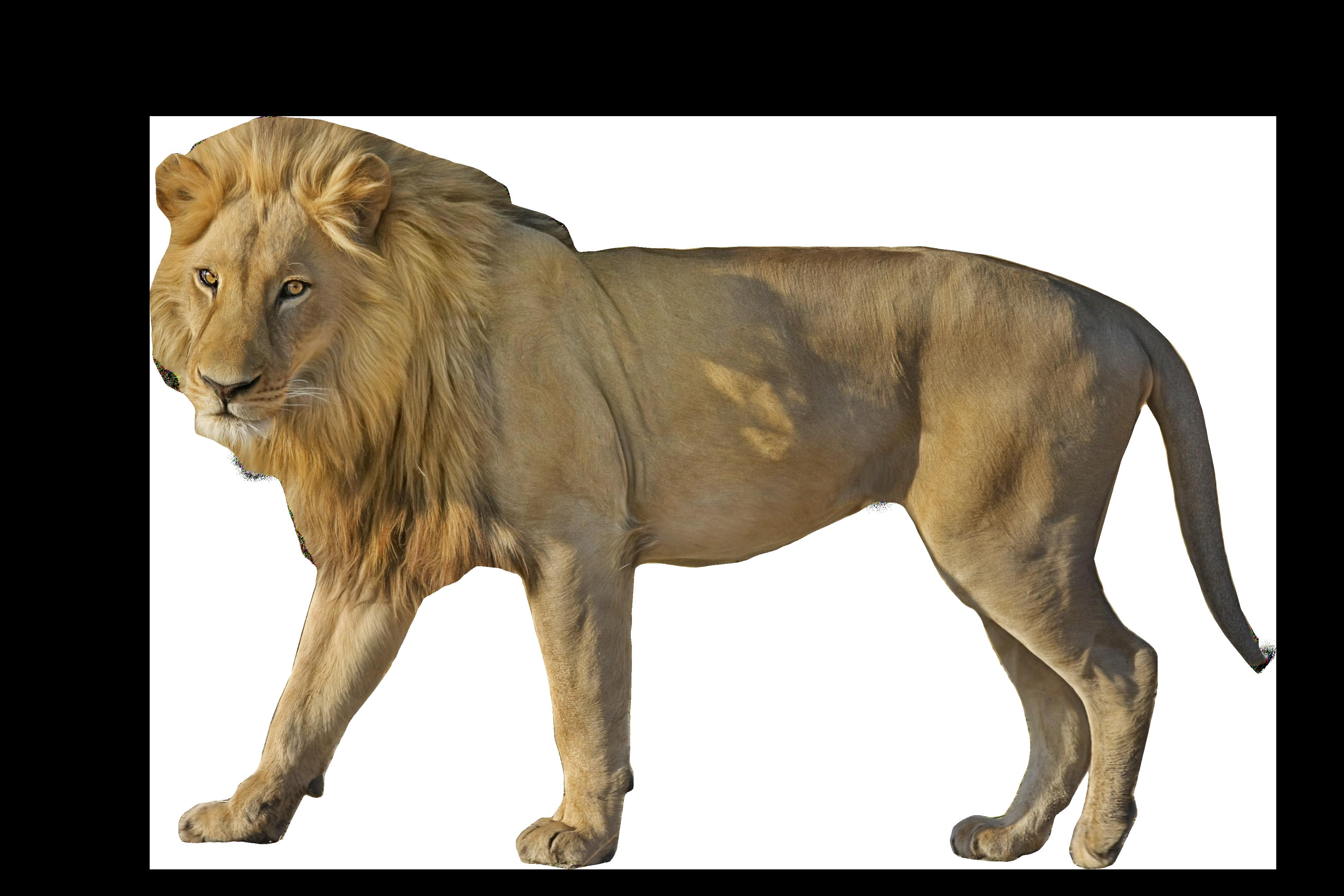 Wildcat clipart cheetah. Lion standing png image