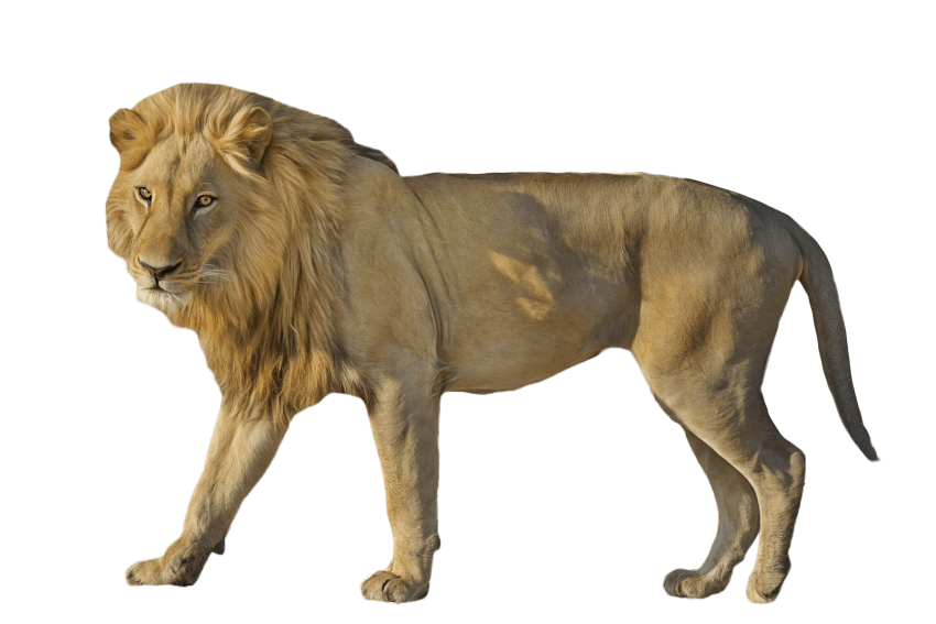 Standing png free images. Wildcat clipart lion