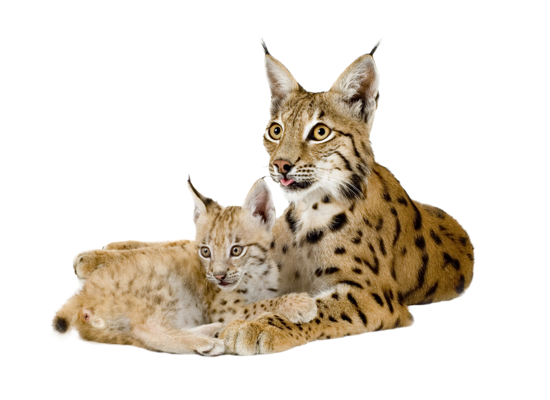 Wildcat clipart lynx. Png more creatures pinterest