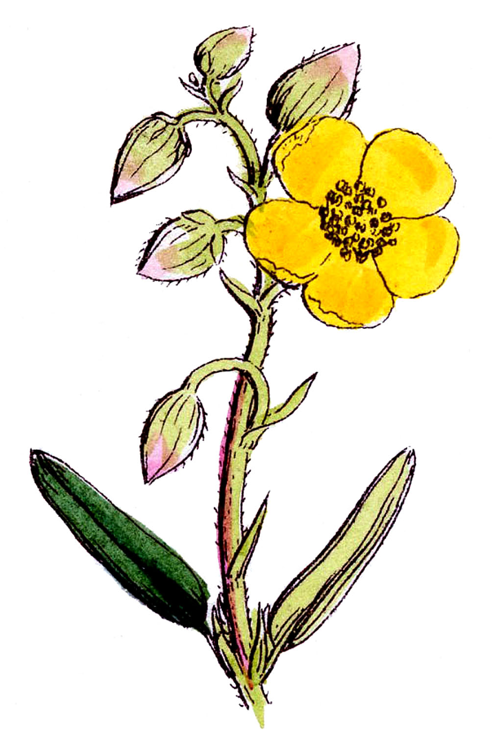 wildflower clipart