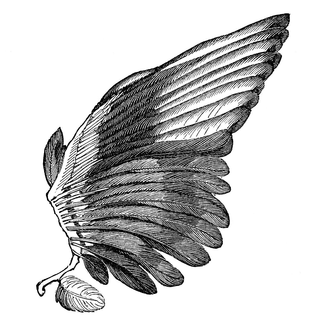 Vintage clip art image. Wing clipart feather wing