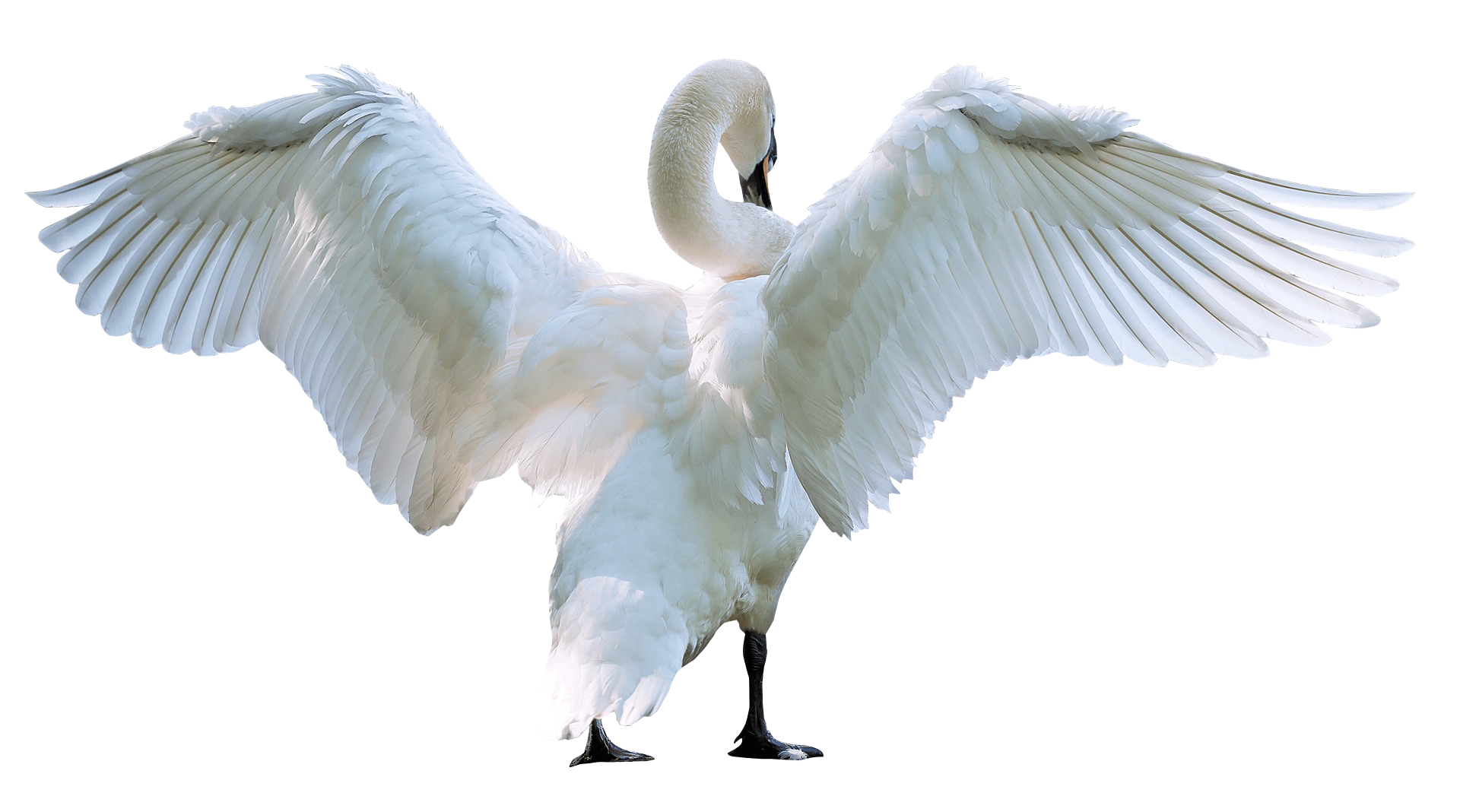 Wing clipart swan. Starting fly png image