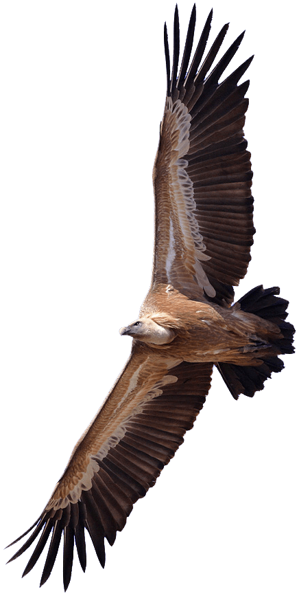 Transparent png stickpng. Wing clipart vulture