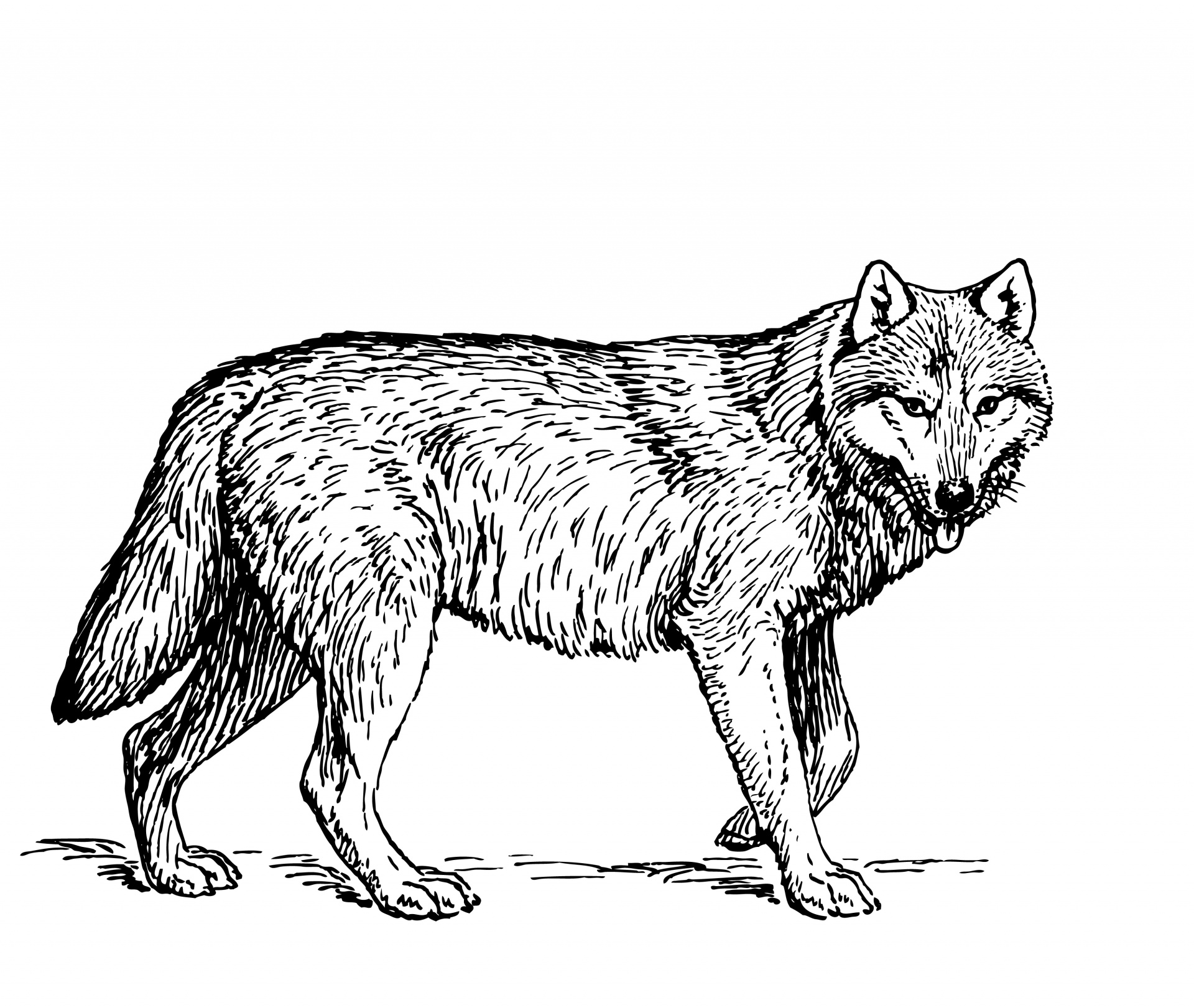 Illustration free stock photo. Wolf clipart