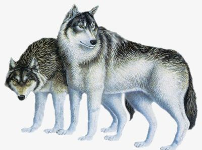 Wolf clipart carnivore.  d png animals