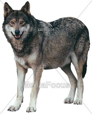 Wolf clipart carnivore. Stock photo predator animals
