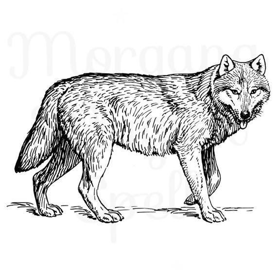 Wolf clipart clip art. Vintage illustration royalty free