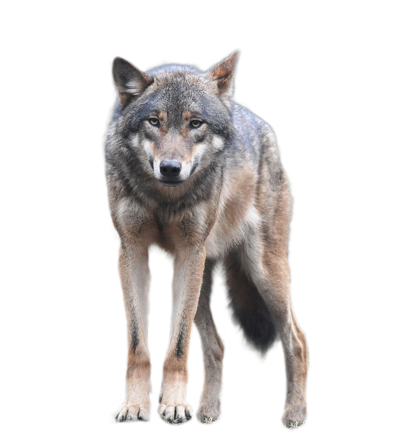 Wolf clipart front. Png transparent stock images