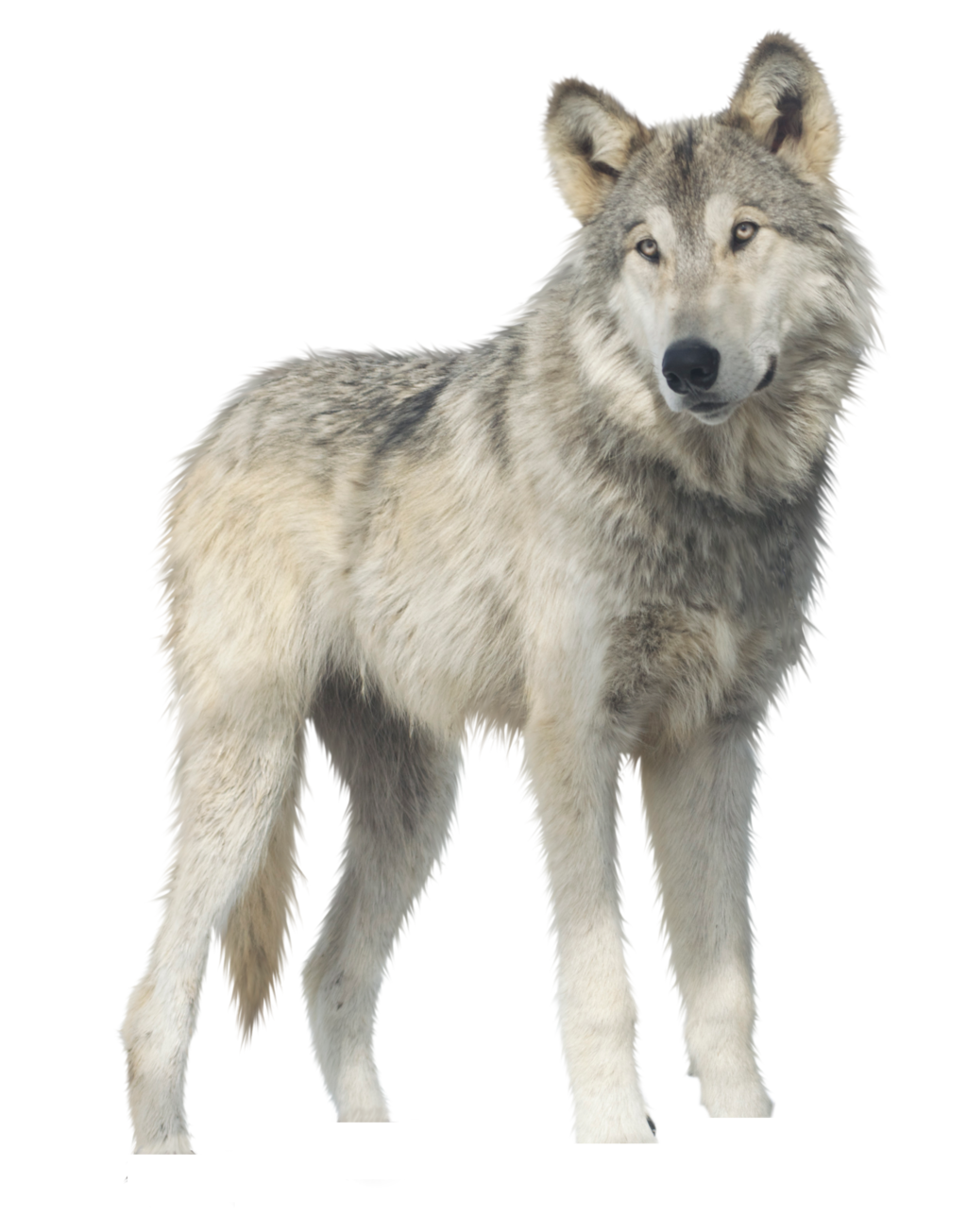 Wolf png images. Godzilla clipart free on