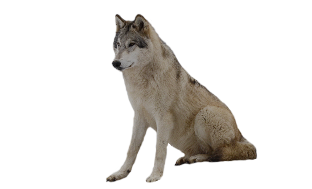 Wolf clipart nature. Twelve isolated stock photo