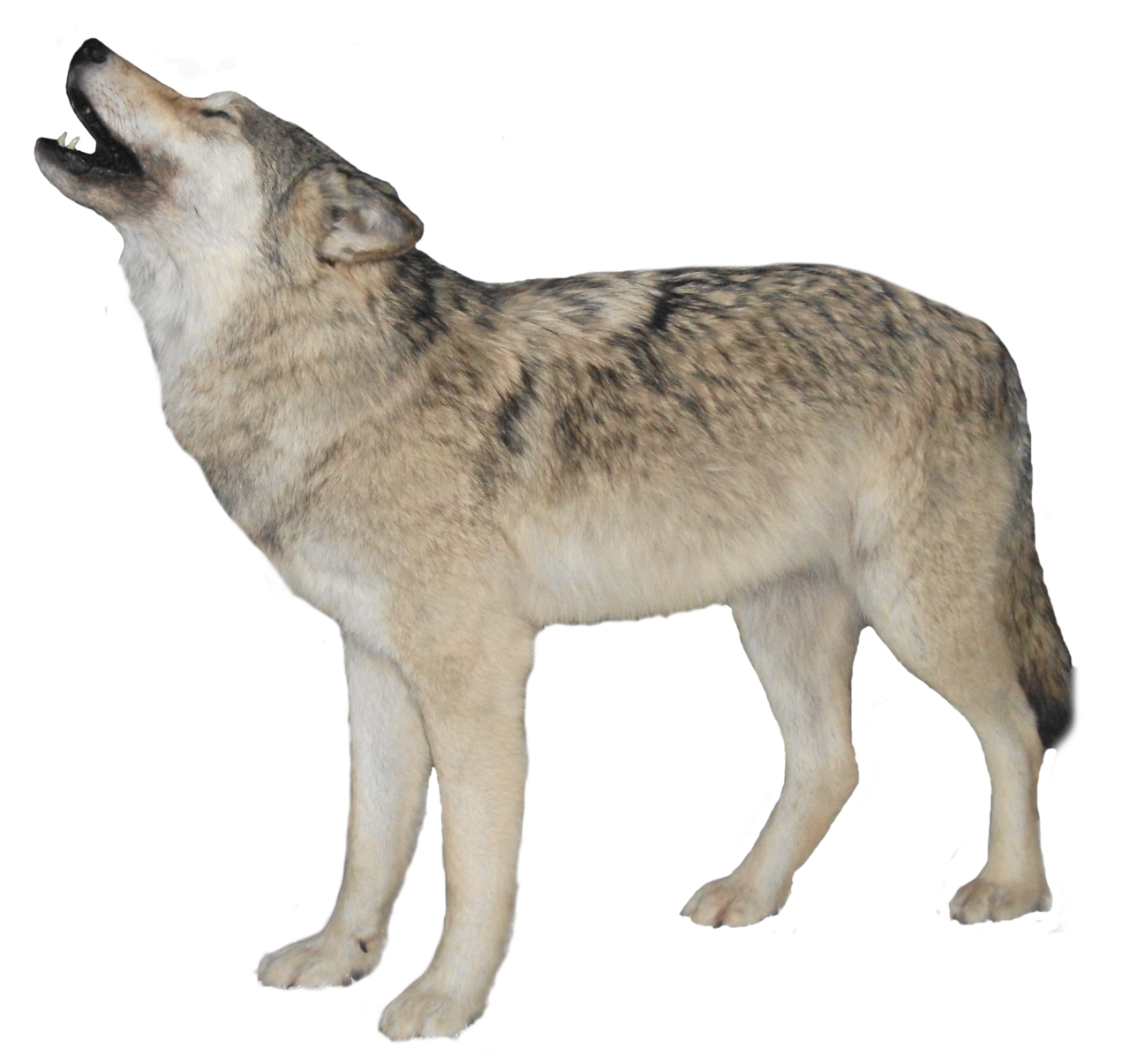 Wolf png images. Three isolated stock photo