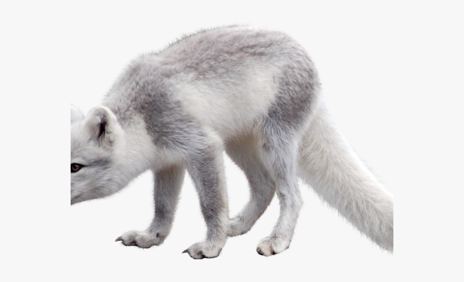 Wolves clipart polar fox. Tundra biome arctic png