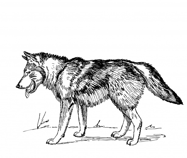 Wolf clipart public domain. Illustration free stock photo