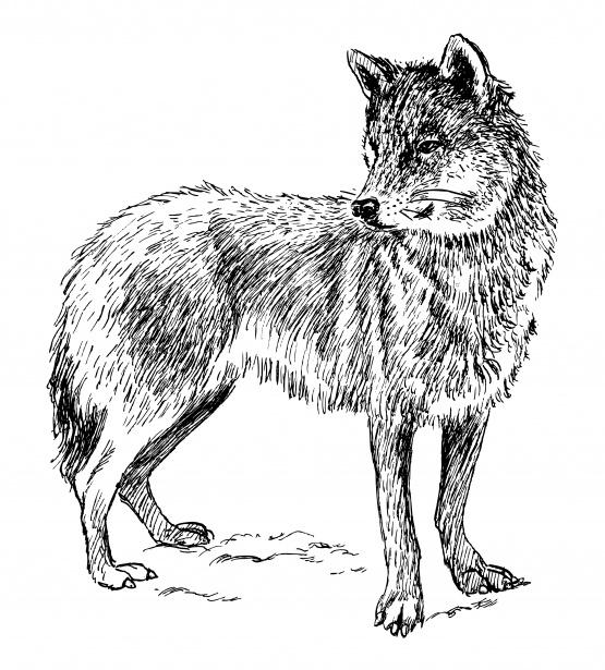 Illustration free stock photo. Wolf clipart public domain