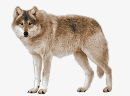 Wolf clipart real wolf. Png animals carnivores