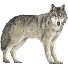 Wolf clipart real wolf.  best images lone