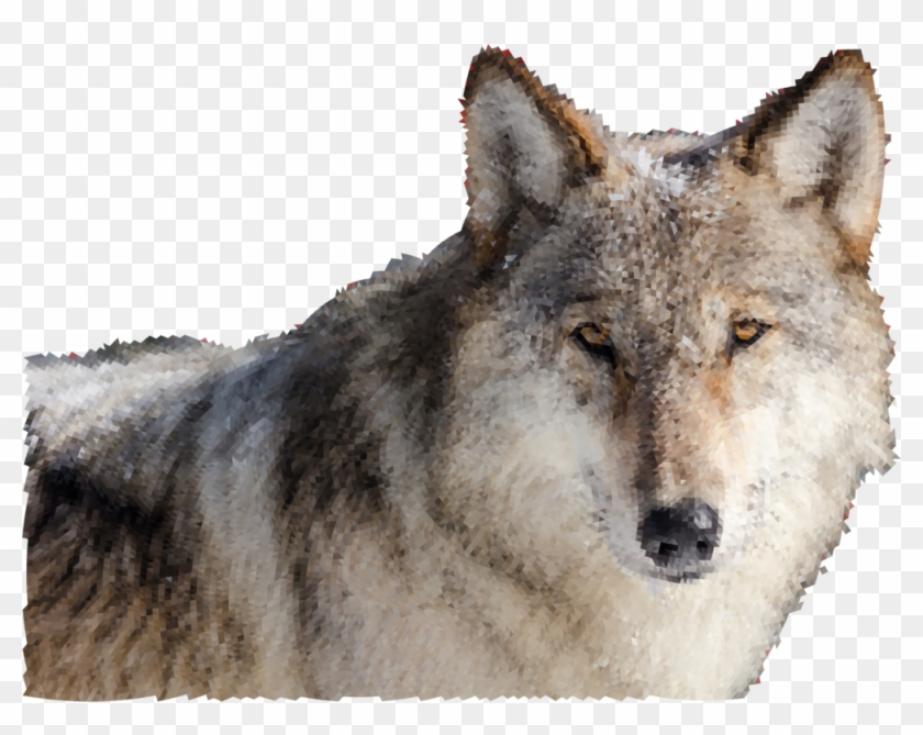 Wolves face front hd. Wolf clipart real wolf