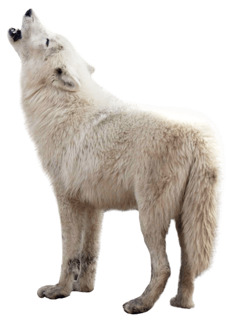 Wolf clipart real wolf. Png free images toppng
