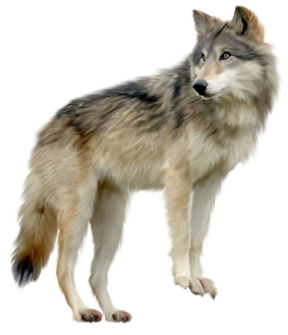 Wolf clipart real wolf. Dog clip art png